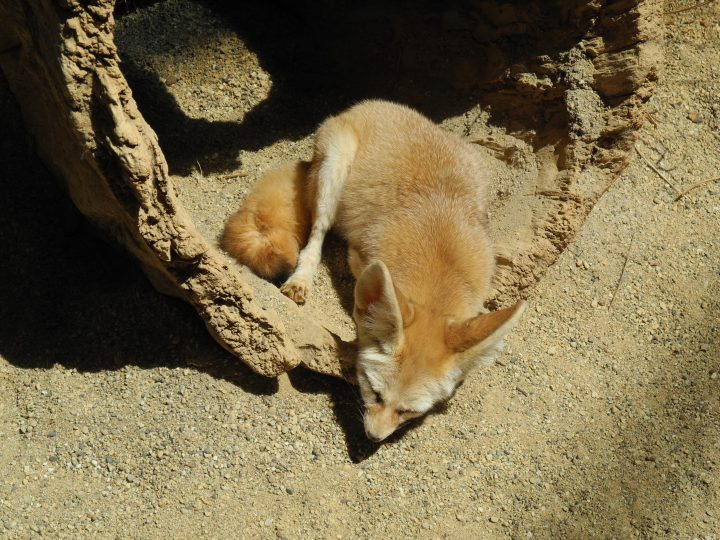 An adorable sand fox at the Zoo!